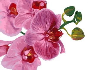 Розовая орхидея - Картина раскраска
